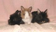 Продам декоративного карликового кролика 1, 5 месяца 8-025-934-15-63 Li