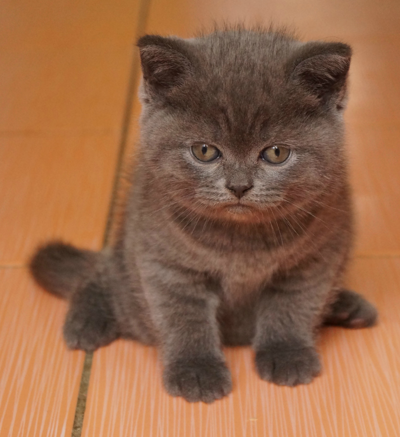 Продажа британских котов витебск
