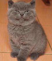 Британские породистые коты