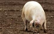 свинина домашняя свежая
