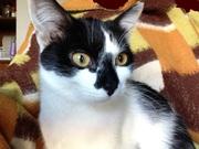 6-ти мес,  стерилизованная кошка в дар