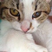 Стерилизованная кошка даром в добрые руки